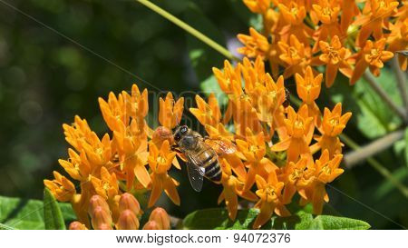 Orange Wildflowers. Butterfly Weed. Butterfly Milkweed. Asclepias tuberosa.