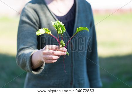Woman Hands With Just Picked Beetroot