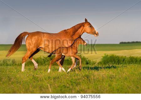 Horses run in pasture