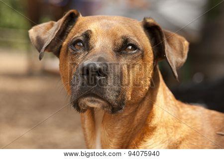Rhodesian Ridgeback dogs Portrait