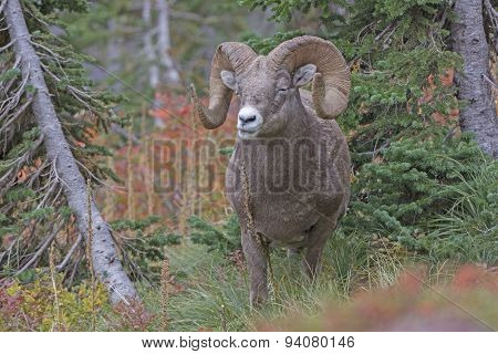 Bighorn Sheep Chewing Its Food In The Mountains
