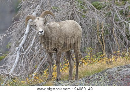 Young Bighorn Sheep In The Mountain