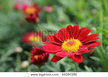 Red And Yellow Daisy