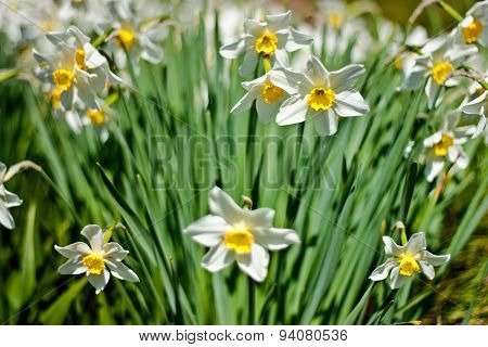 Many Narcissuses