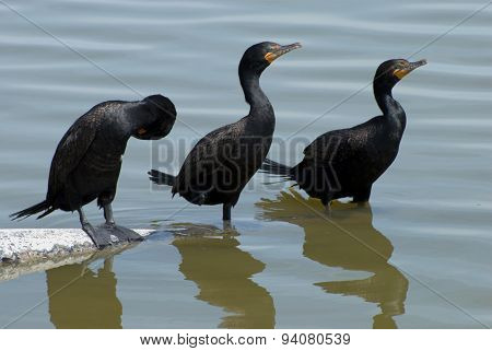 Three Double-crested cormorants