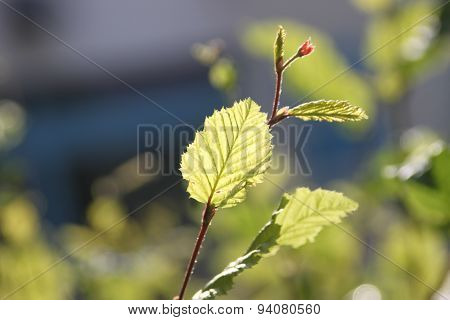 Young common hornbeam leaves (Carpinus betulus)