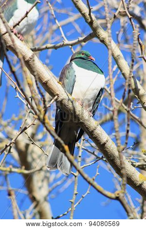 Kereru In Winter Garden