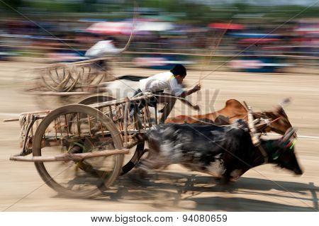 Ox Cart Racing In Thailand.