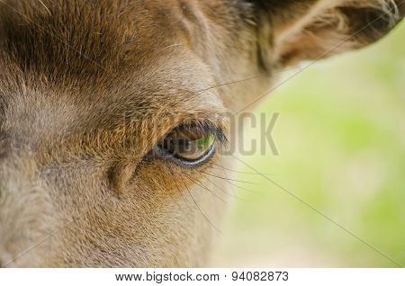 Close Up Macro Of Red Deer Hind Face With Focus On The Eye. Unusual View.