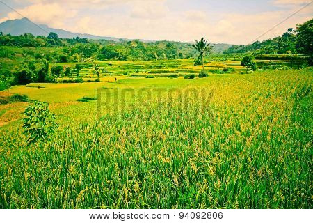 Indonesia green paddy field
