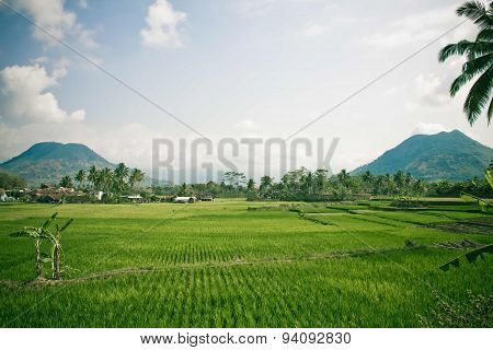 Indonesia paddy field