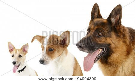 Dogs in row isolated on white