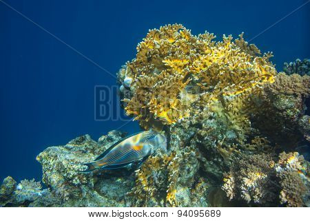 Coral fish in Red Sea, Egypt