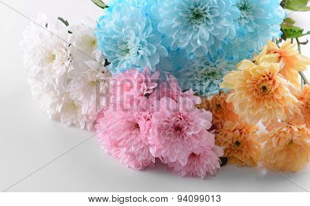 Colorful chrysanthemum isolated on white