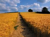 Farmland With Cereal Crops poster