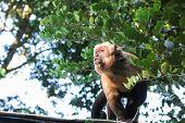 foto of pampas grass  - Gracile capuchin monkey a capuchin monkeys in the genus Cebus - JPG