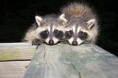 stock photo of scared baby  - Two cute baby raccoons on a wooden deck at night - JPG