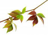 pic of grape leaf  - Multicolor autumn twig of grapes leaves parthenocissus quinquefolia foliage - JPG