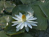 foto of lillies  - Nymphaea odorata - JPG