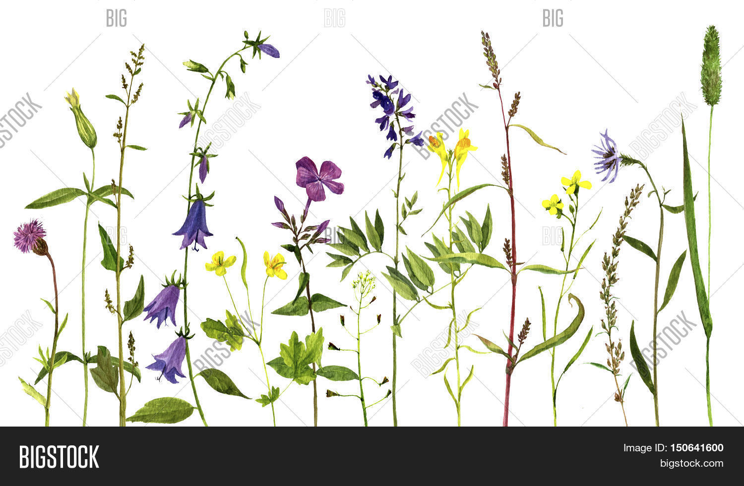 Watercolor drawing wild flowers and herbs, painted wild ...