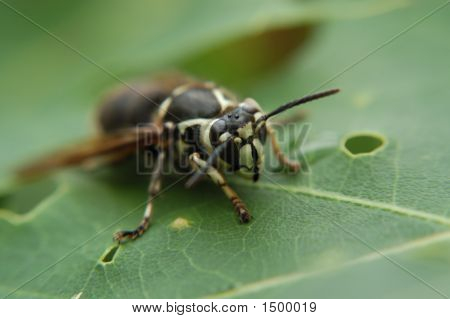White Face Hornet