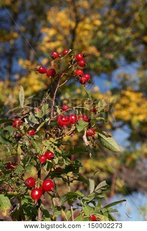 Ripe Berries Rose Hips
