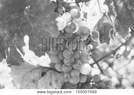 Vine Plantation. Wine Grapes On The Vine Under The Sun