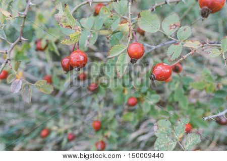 Wild Rose Hips, Rose Hips Healing In The Woods