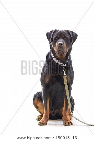 Rottweiler dog on chain isolated on white background