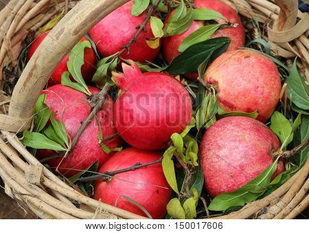 Many Red Ripe Pomegranate