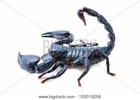 scorpion on white background. Giant forest scorpion species found in tropical and subtropical areas in Asia.