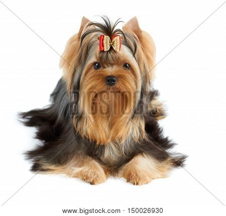 Beautiful Yorkshire Terrier of show class with perfectly groomed long hair and bow.