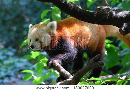 Really cute red panda bear in the trees.