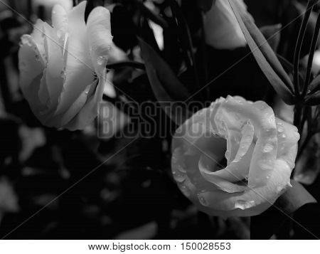 Close-up image of beautiful white roses with water drops Symbol of love Black and white Low key tone