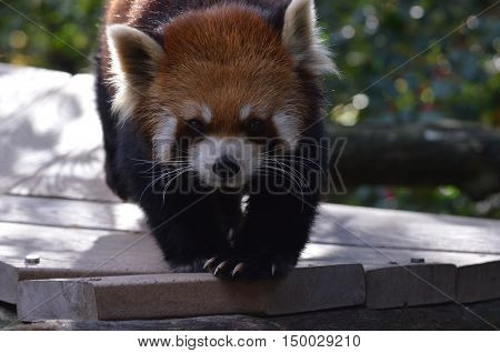 Red panda bear with long claws on his paws.