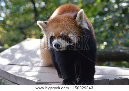 Adorable face of a cute red panda bear.