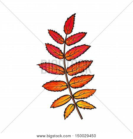 Beautiful yellow red colored autumn rowan leave, vector illustration isolated on white background. Botanical drawing of a yellow red rowan leaf, fall season, autumn decoration element