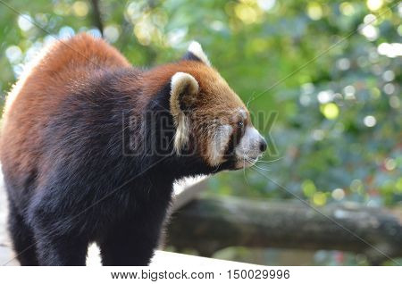 Side view of a red panda bear with long whiskers.