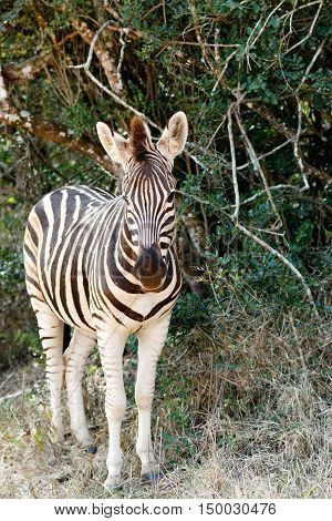 Baby Burchell's Zebra Looking All Alone.