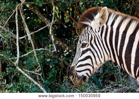 Just A Pin Sharp Burchell's Zebra