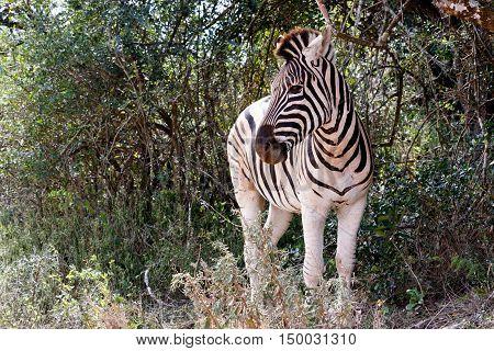 Burchells Zebra Looking Left
