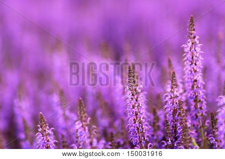 A lovely background of purple Salvia of the Mint family commonly referred to as sage.