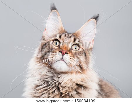 Portrait of domestic black tabby Maine Coon kitten - 5 months old. Close-up studio photo of funny striped kitty looking up. Cute young cat on grey background.