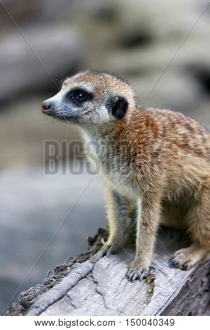 Cute meerkat on guard duty in the nature