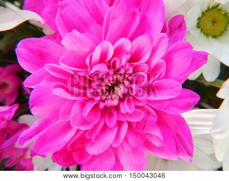 Large pink chrysanthemum on a background of pink and white chrysanthemums. Large petals.