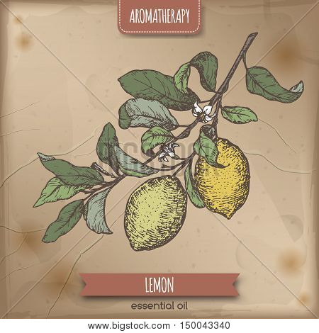 Citrus limon aka lemon branch color sketch on vintage background. Aromatherapy series. Great for traditional medicine, perfume design, cooking or gardening.