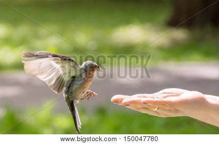 The photograph depicts finch flew to the hand