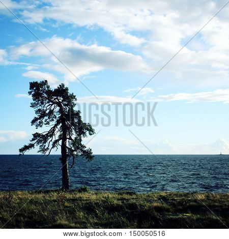 Lone Standing Pine Tree On The Shore. Onega Lake.