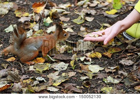 Little red squirrel ran to the outstretched human hand on which there are nuts.