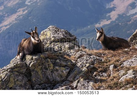 Young chamois on the rocks. Tatry. Poland